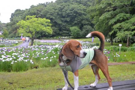 20120616佐倉菖蒲まつり08