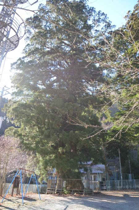 20121211精進の大杉06