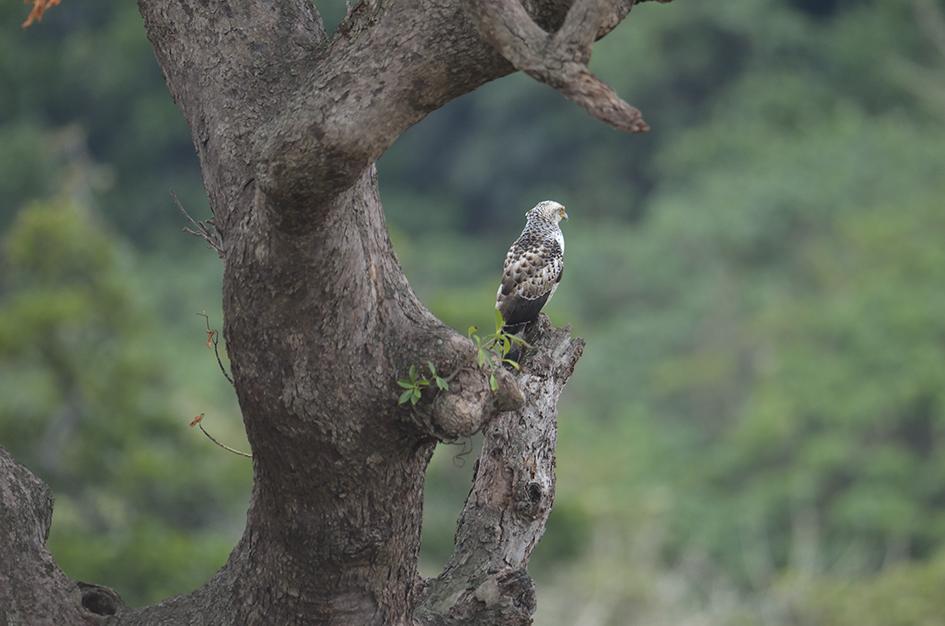 _DSC7759_カンムリワシ幼鳥.jpg
