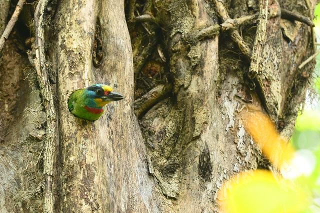 五色鳥の巣(2)