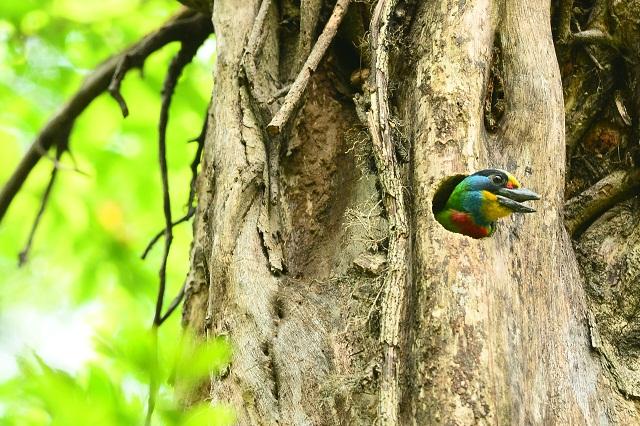 五色鳥の巣(1)