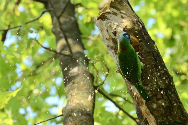 五色鳥の巣作り(2)