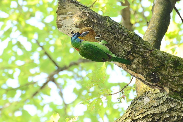 五色鳥の巣作り(3)