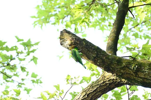 五色鳥の巣作り(1)