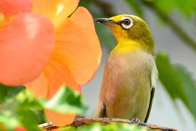 初夏の花とメジロ(3)