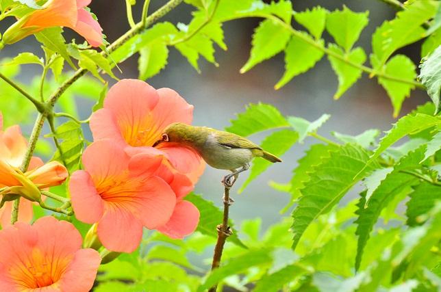 初夏の花とメジロ(2)
