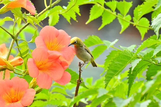初夏の花とメジロ(1)