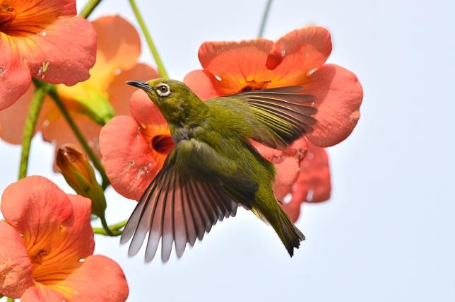 初夏の花とメジロ(5)