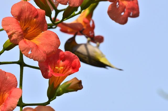 初夏の花とメジロ(4)