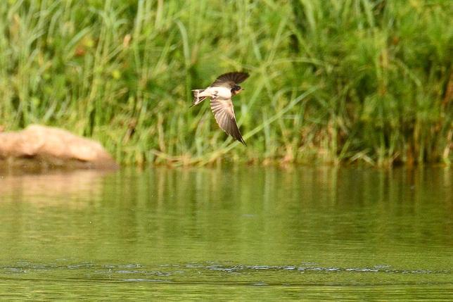 湖面を舞う山燕(2)