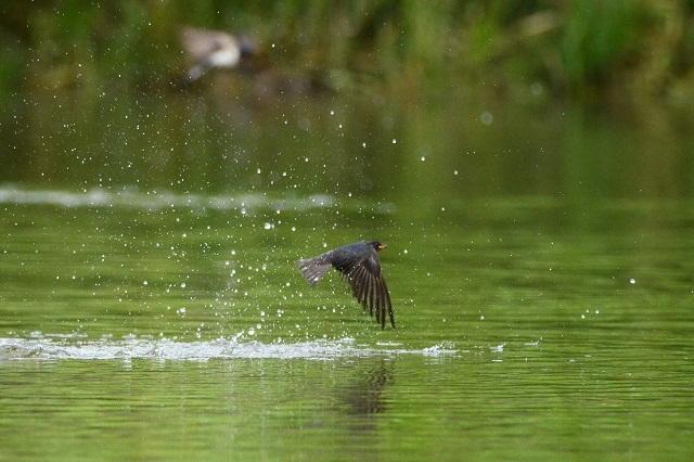 湖面を舞う山燕(3)