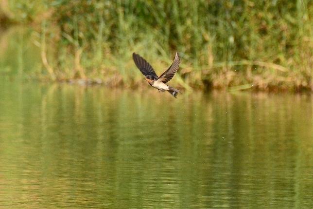 湖面を舞う山燕(1)