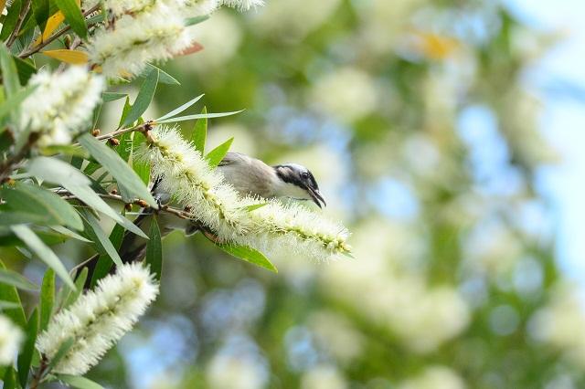 マキバブラシと小鳥(1)