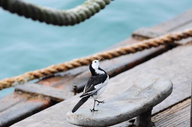 桟橋で小鳥と遊ぶ(2)