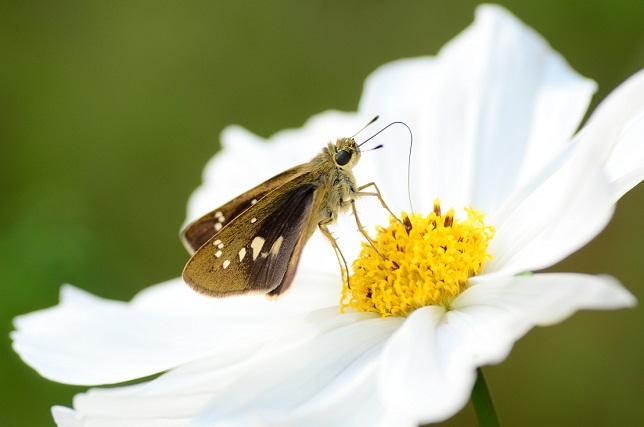 秋桜と蝶(2)
