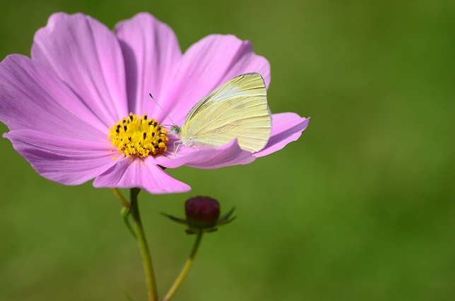 秋桜と蝶(3)