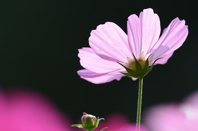 秋桜と蝶(1)