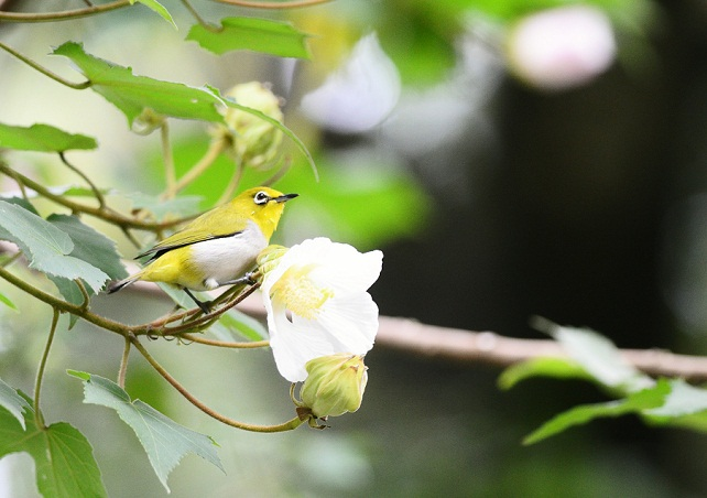 花とメジロ(2)