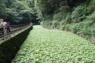 浄蓮の滝 山葵畑