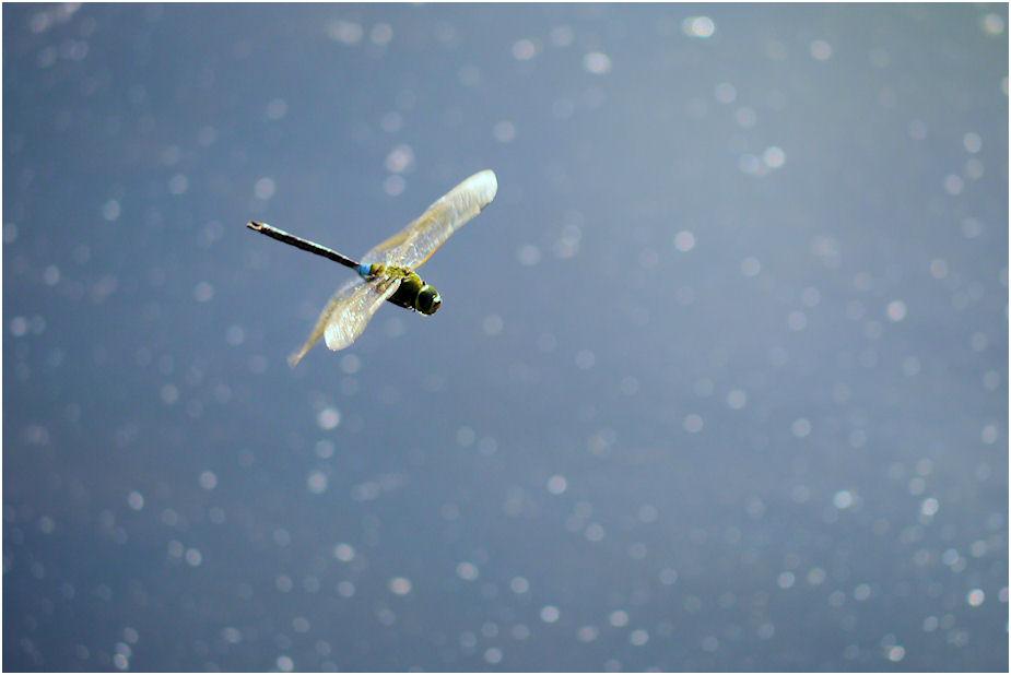 ギンヤンマ飛翔1