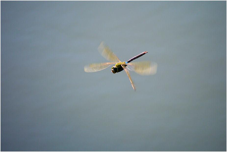 ギンヤンマ飛翔2