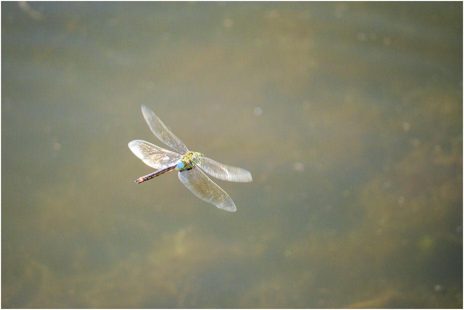 ギンヤンマ飛翔3