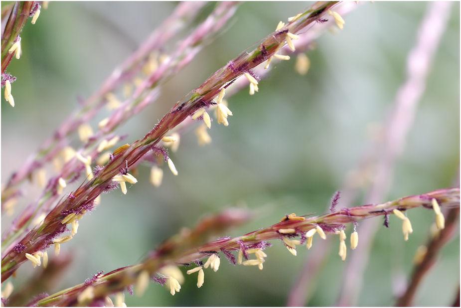 ススキの花