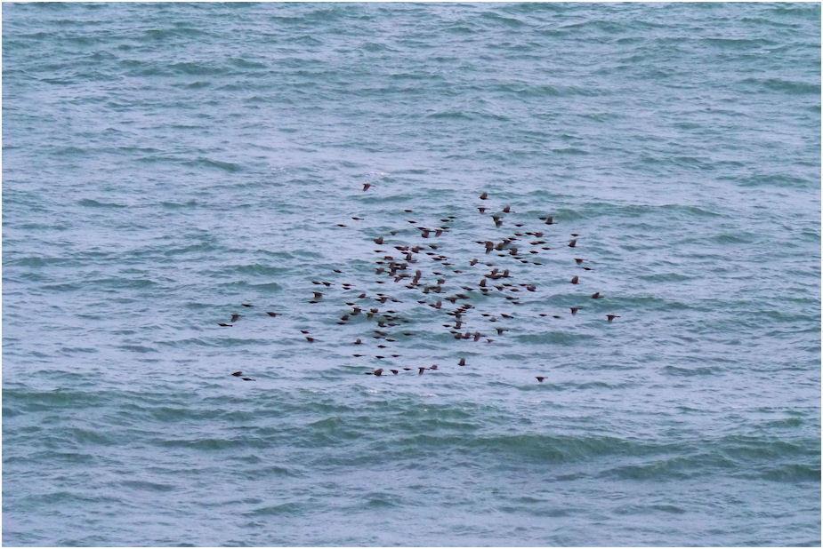海を行く野鳥の群れ、何鳥だろう?