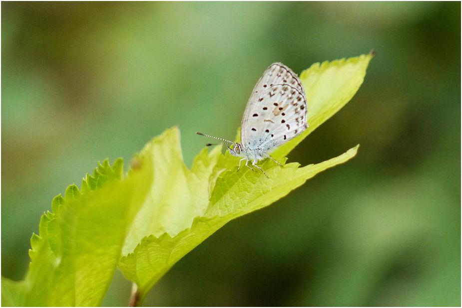 ヤマトシジミ蝶1