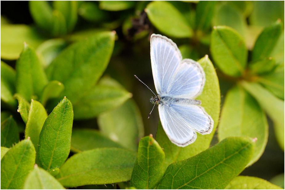 ヤマトシジミ蝶2