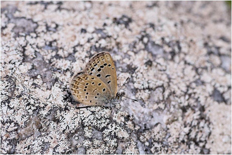ヤマトシジミ蝶3
