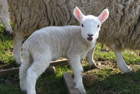 羊赤ちゃん