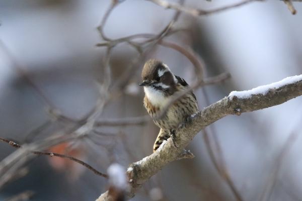 コゲラ_塩嶺小鳥の森