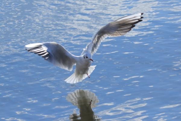 ユリカモメ_諏訪湖