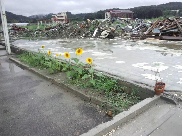 2011南三陸ひまわり
