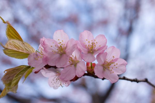 2013桜