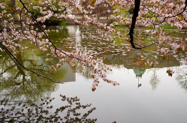 赤レンガ桜