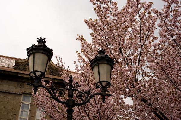 西11丁目桜
