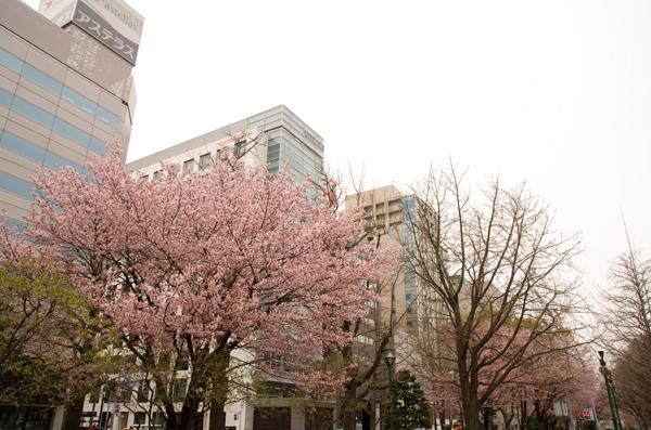 大通公園桜2013