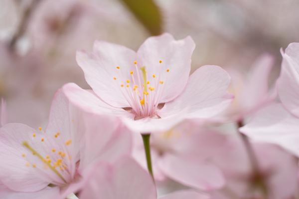 中島公園桜