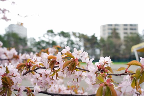 桜2013?