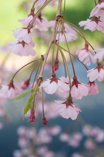 中島枝垂桜