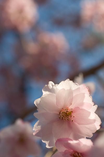 青空と枝垂桜?