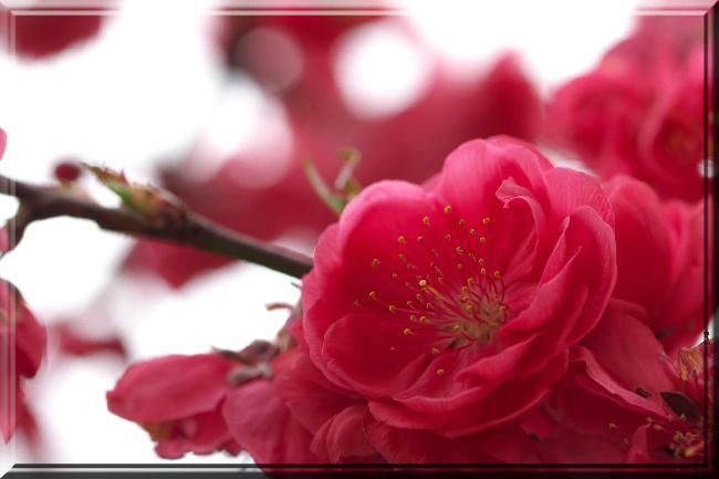 赤い桃-2