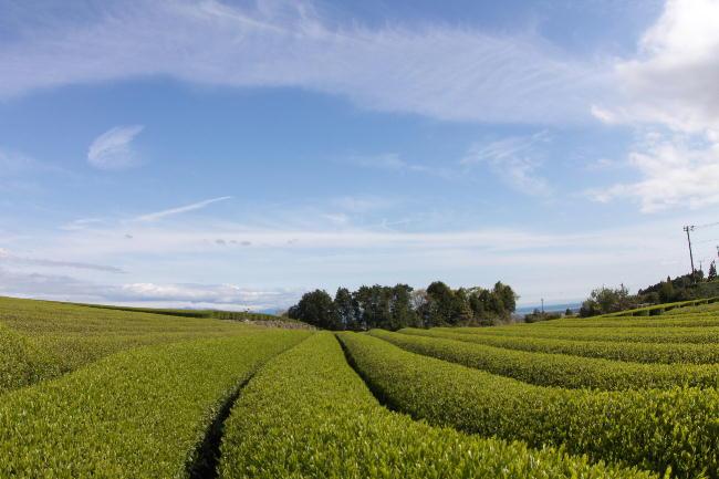 お茶畑-2