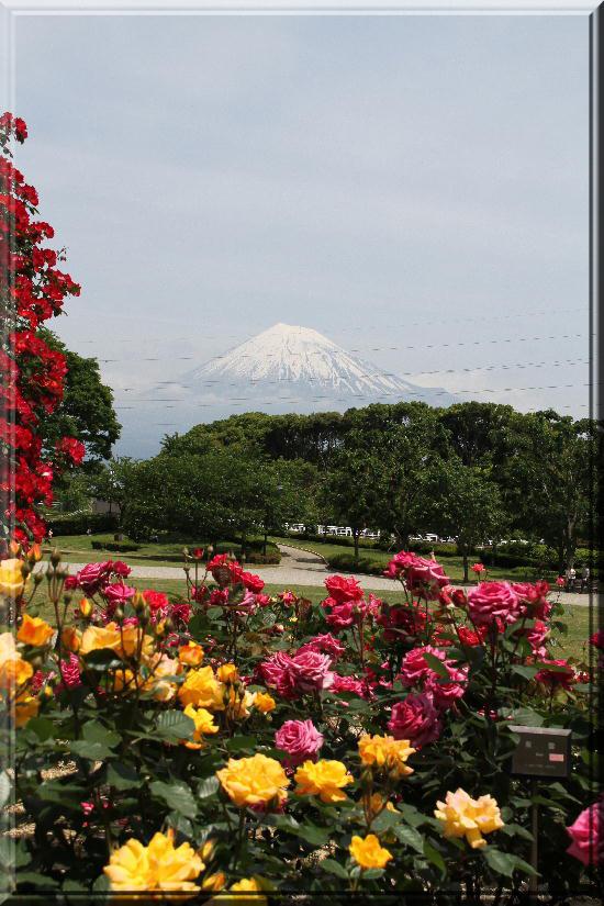 富士山と薔薇-18