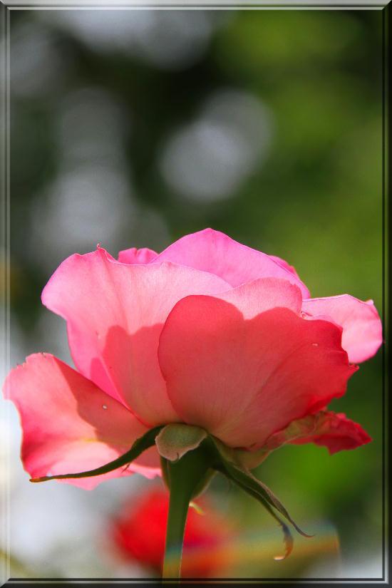 薔薇-18