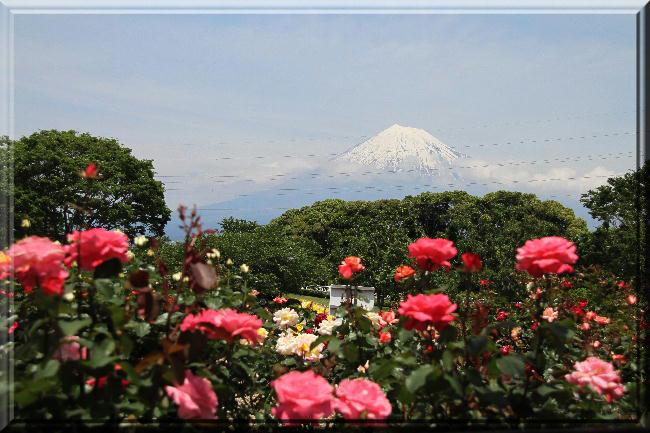 富士山と薔薇-19