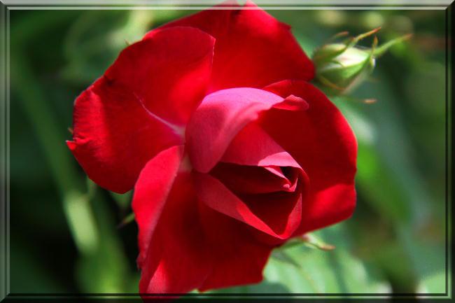 薔薇-19