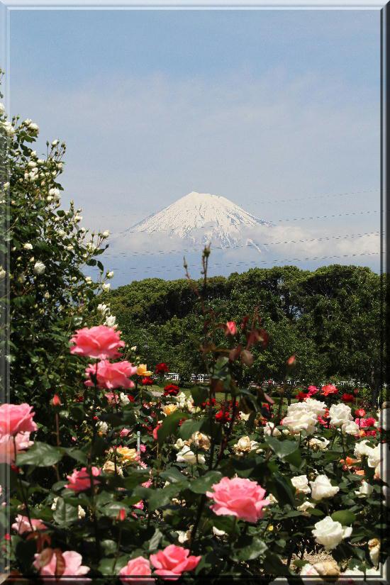 富士山と薔薇-20